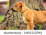 cute australian cattle dog chinook dog blonde