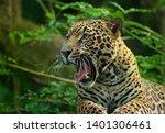 Jaguar   Panthera Onca  Wild...