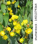Prickly Pear Cactus In Bloom...
