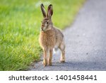 Stock photo wild hare beautiful close up in evening sun stunning detail of the brown hare lepus europaeus 1401458441