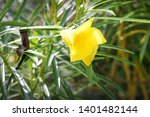 Stock photo apricot colored flower of cascabela thevetia yellow oleander lucky nut 1401482144