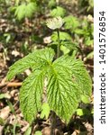 Small photo of Closeup of Goldenseal Hydrastis canadensis showing side of flower and full broad leaf