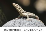 beautiful tenerife lizard... | Shutterstock . vector #1401577427