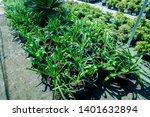 ornithogalum caudatum flower...