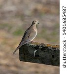 Mourning Dove On An Old Post.