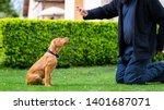 Stock photo obedience training man training his vizsla puppy the sit command using treats 1401687071
