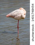 Greater Flamingos ...