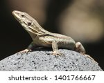 listening lizard close up.... | Shutterstock . vector #1401766667