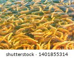 Rainbow trout breed Adler amber in the pond. Numerous Golden fish in clear water. Bright sunny day