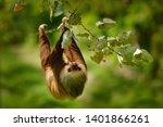 Sloth in nature habitat....