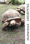 Stock photo sulcata tortoises roaming around on grass 1401879761