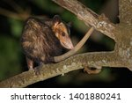 Small photo of Common Opossum - Didelphis marsupialis also called the southern or black-eared opossum or gamba or manicou, marsupial species living from the northeast of Mexico to Bolivia.