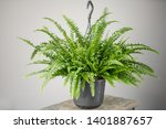Nephrolepis Plants  Fern....