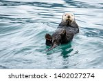 Sea Otter Bobbing In Water On...