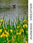 wild bird duck and yellow iris | Shutterstock . vector #1402147634