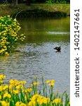 wild bird duck and yellow iris | Shutterstock . vector #1402147661