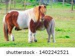 Beautiful Shetland Ponies On A...