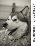 alaskan malamute breed dog... | Shutterstock . vector #1402346387