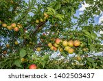 ripe apples in orchard ready...   Shutterstock . vector #1402503437