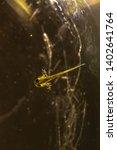 Small photo of Salamander. Tadpoles of salamander. Swimming salamander. Slightly developed salamander larvae