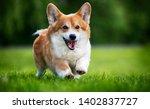 Stock photo red dog welsh corgi pembroke for a walk in summer 1402837727