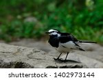 wild bird white wagtail isolated | Shutterstock . vector #1402973144