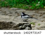 wild bird white wagtail isolated | Shutterstock . vector #1402973147