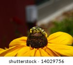 Small photo of Bee Feeding Upon Nectar on Brown Bitterweed Flower in Houston, Texas, USA