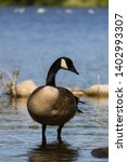 A Canada Goose Wading In...