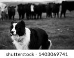 Border Collie Win Black And...
