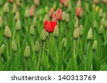 Red Tulip Among Field Of Close...