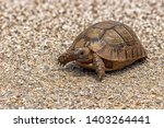 Stock photo a greek tortoise also known commonly as the spur thighed tortoise is a species of tortoise in the 1403264441