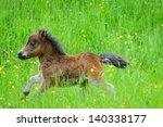 miniature horse portrait in...
