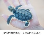 High angle view over human hand holding baby flatback sea turtle hatchling at Bare Sand Island at the top end of Australia