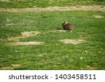 Stock photo a rabbit is sitting on the grass on a farm the hare is running around on a green lawn in a nice 1403458511