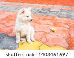 Stock photo cutie puppy white fluffy puppy of pomeranian spitz pomerans puppy dog with apple little spitz 1403461697