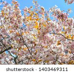 cherry trees and flowers in...   Shutterstock . vector #1403469311