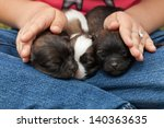 Young puppy dogs sleeping protectected by little girl hands - closeup - stock photo