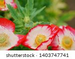 red and white papaver rhoeas...   Shutterstock . vector #1403747741