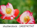 red and white papaver rhoeas...   Shutterstock . vector #1403747747