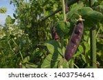 purple tutankhamen peas at...   Shutterstock . vector #1403754641