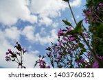 pink silene dioica flower is...   Shutterstock . vector #1403760521