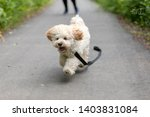 Adorable Maltese And Poodle Mi...