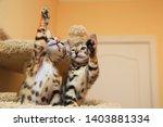 Stock photo bengal kittens very funny kittens 1403881334