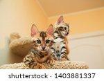 Stock photo bengal kittens very funny kittens 1403881337