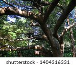 strong branches of a pod... | Shutterstock . vector #1404316331