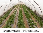 organic strawberry plant... | Shutterstock . vector #1404333857