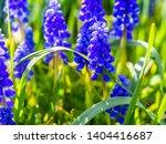 Deep Blue Grape Hyacinths ...