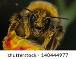 Bumblebee Covered In Pollen On...