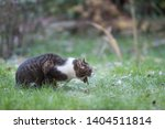 side view of a tabby white... | Shutterstock . vector #1404511814